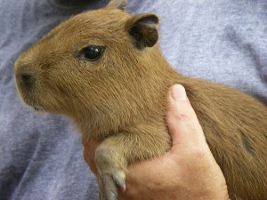 Capybara Pet Baby | www.pixshark.com - Images Galleries ...