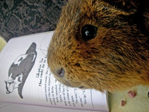 Cheeks the Guinea Pig from @mtlcritters snacking while reading