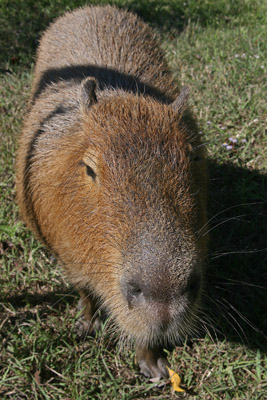 Me just being a capybara