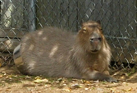 Capybara in food bowl at York's Wild Kingdom
