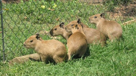 Baby capybaras at Shad EE Shack Farm in Arkanas