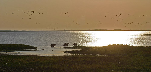Capybaras at sunset.