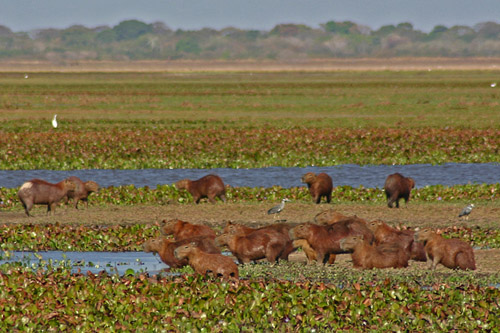 Band of wild capybaras at Hato El Frio, Venezuela