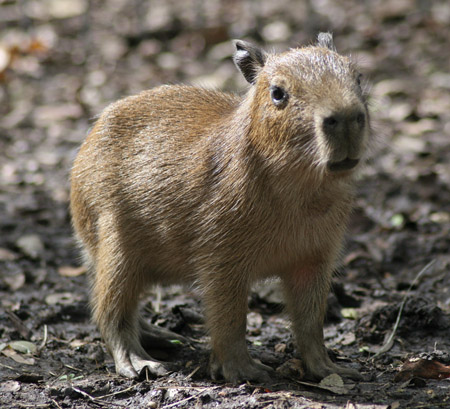 Five-day-old capybara  Capybara Baby Cute
