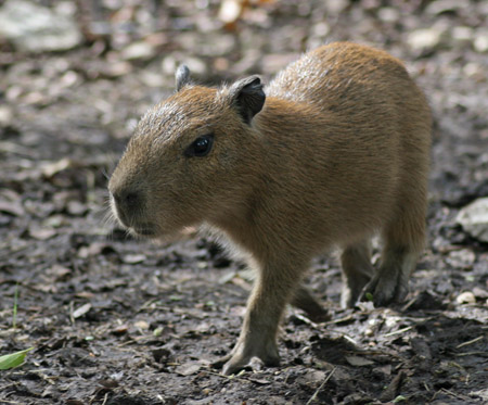 Five-day-old baby capybara