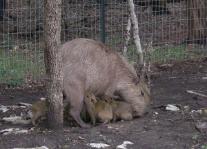 Mother capybara with 5-day-old babies