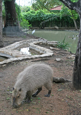 San Antonio Zoo Capybara Enclosure