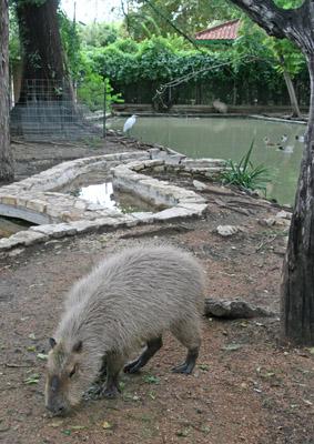 San Antonio Zoo Capybara Enclosure