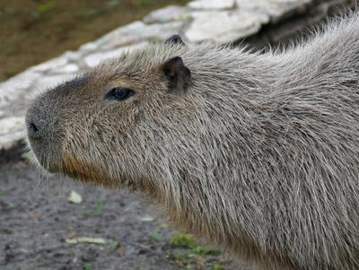 Female Capybara. Carley?