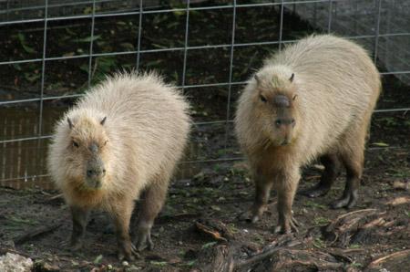 San Antonio Zoo Capybaras