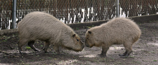 Capybara encounter at San Antonio Zoo