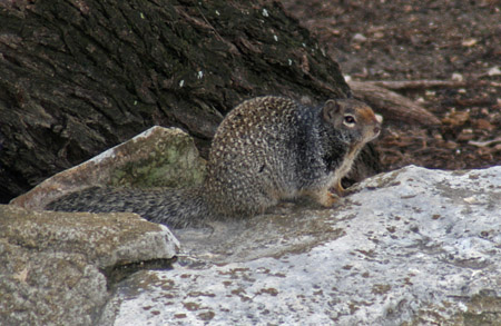 Rock Squirrel at San Antonio Zoo