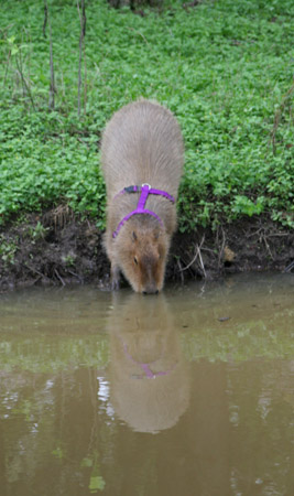 The water in Capybara Creek was cold so I had to ease myself in