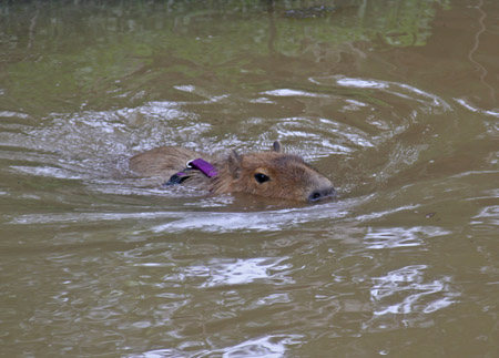 Me swimming in Capybara Creek