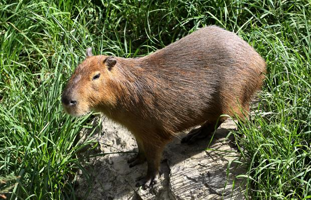 The lonely male capybara at Calgary zoo