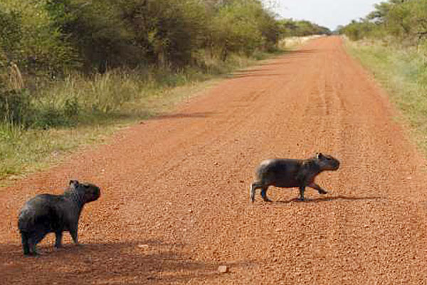 Two young capybaras cross the road (Image from LA Times)
