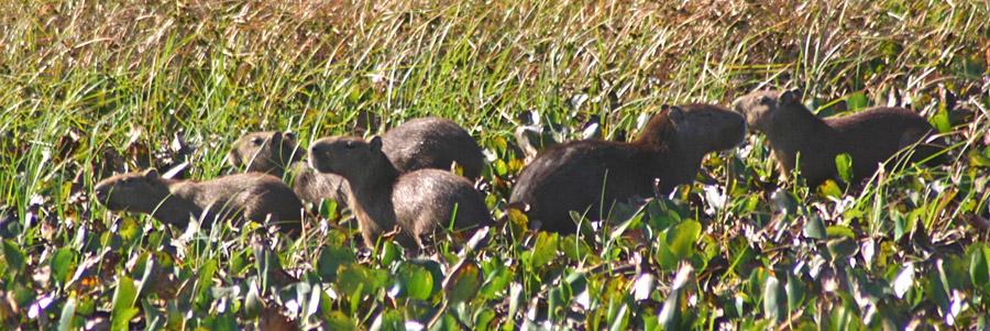 Capybara family at Hato El Frio, Venezuela
