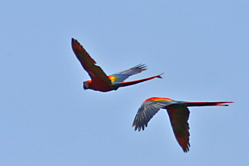 Scarlet Macaws Flying at Hato El Frio, Venezuela