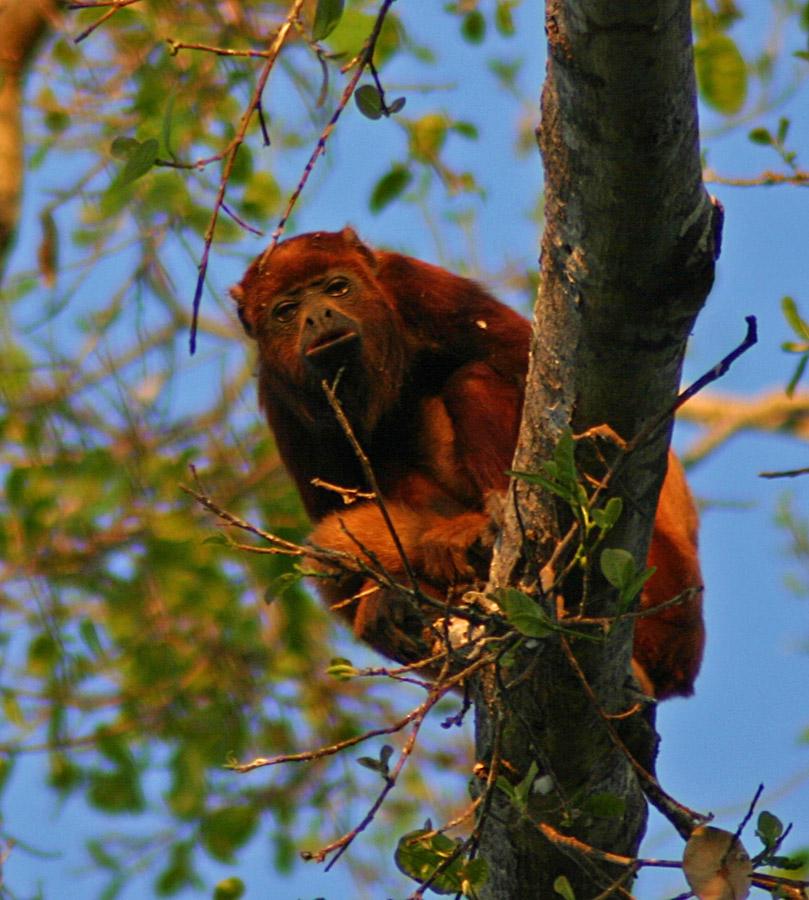 Howler Monkey at Hato El Frio, Venezuela