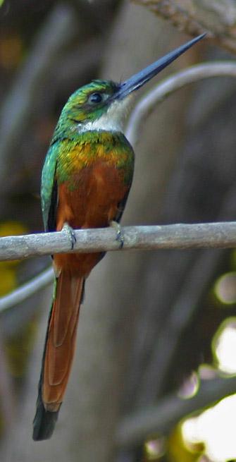 Rufous-tailed Jacamar at Hato El Frio, Venezuela