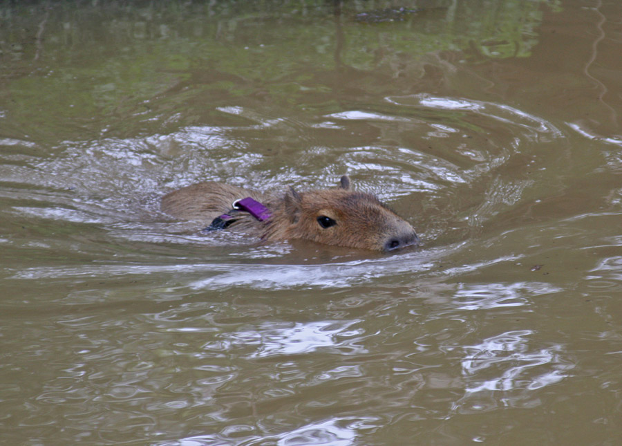 Swimming in Capybara Creek