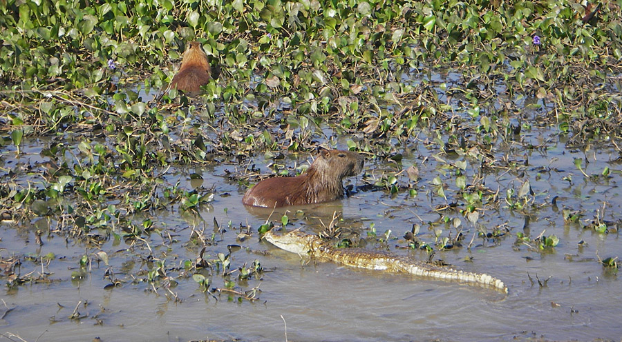 Wild capybaras with caiman (photo by Coral Waters)