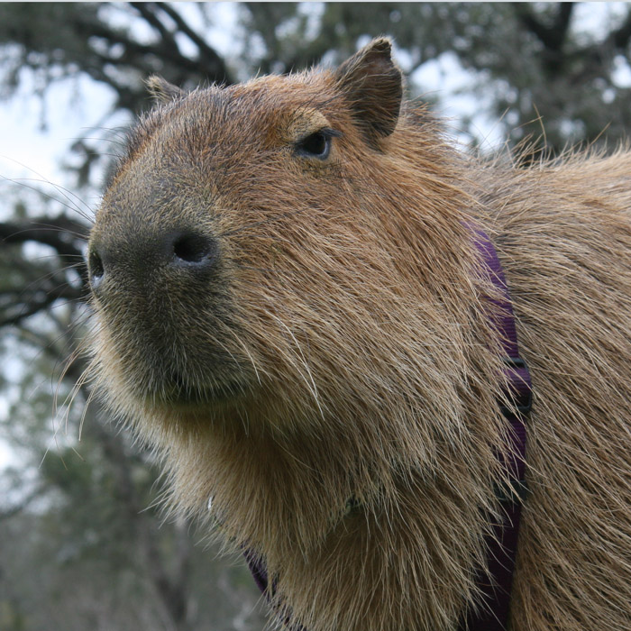 Adorable capybara profile including nose