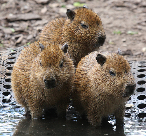 Baby caybaras are too cute for  Capybara Baby Cute