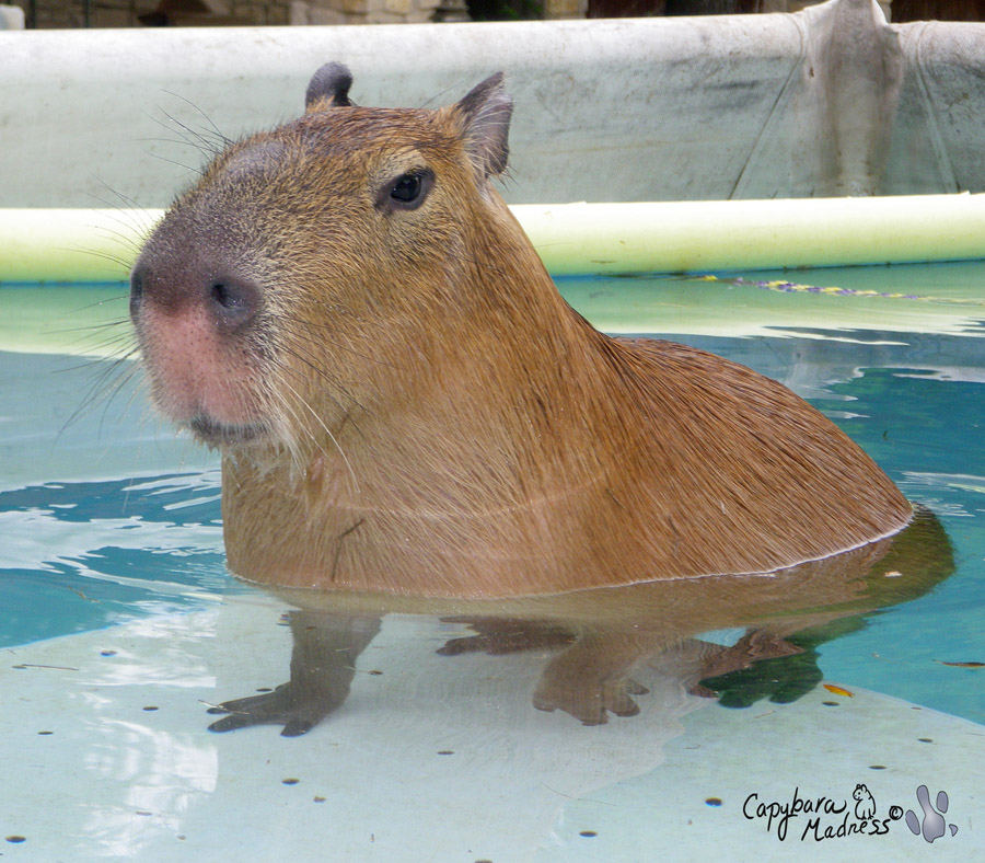 Capybara Swimming Pool First Swim « Capy...