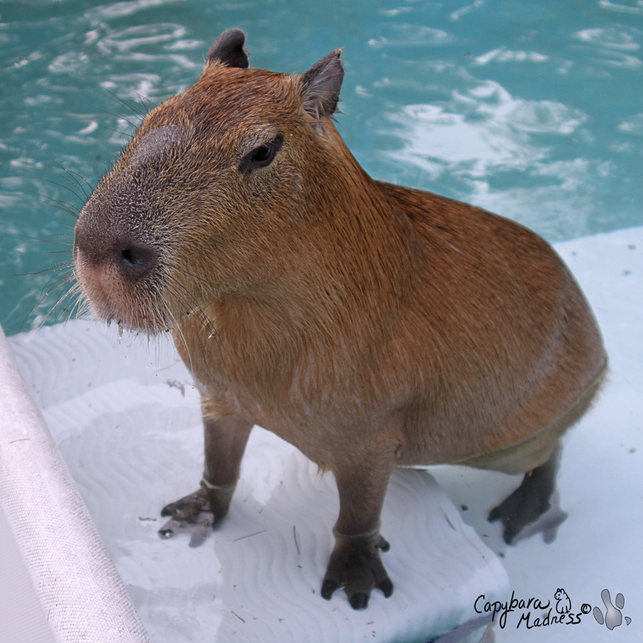 Capybara Swimming Pool  7 Time to get out