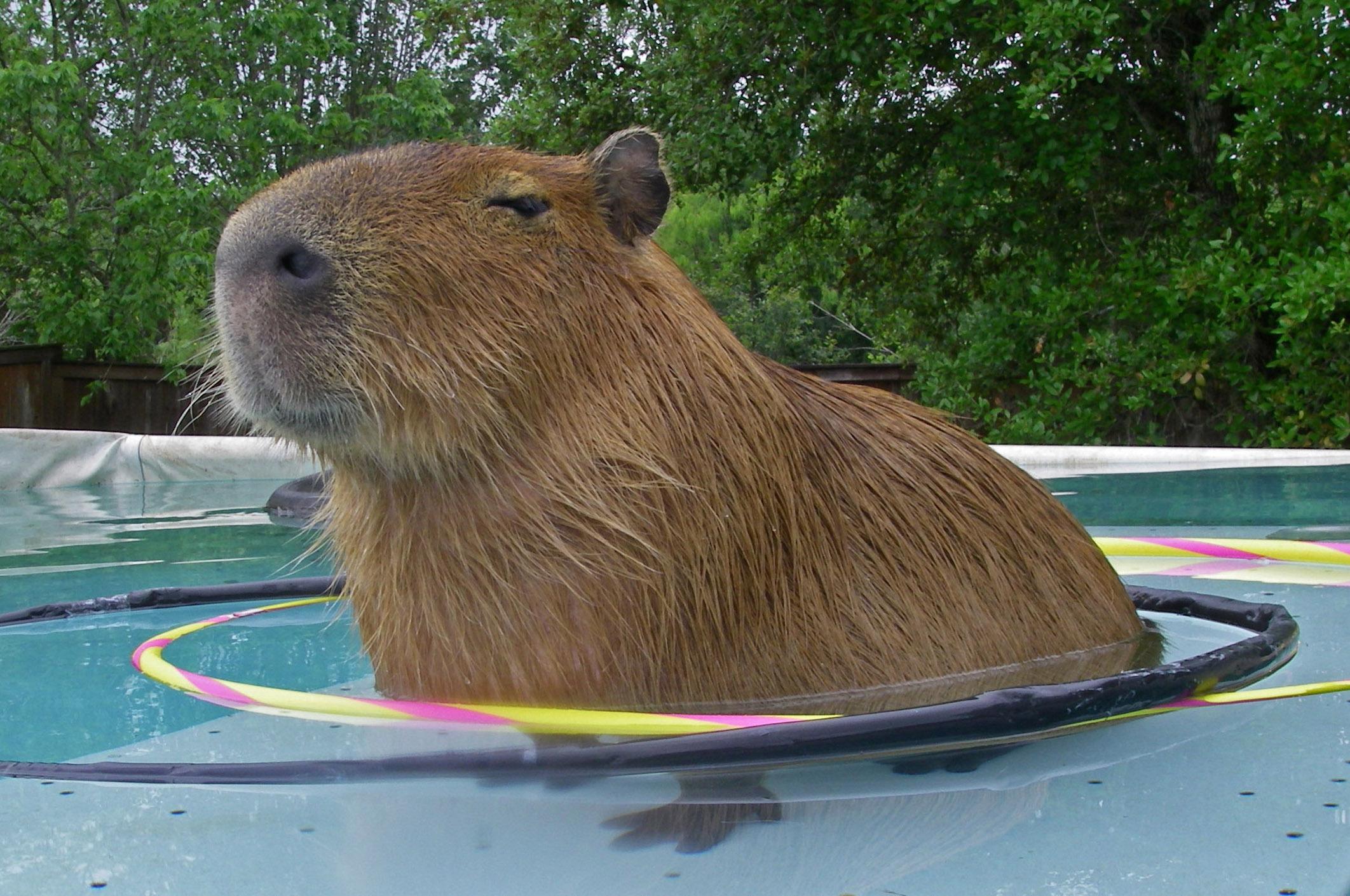 capybara wallpaper pool - photo #1