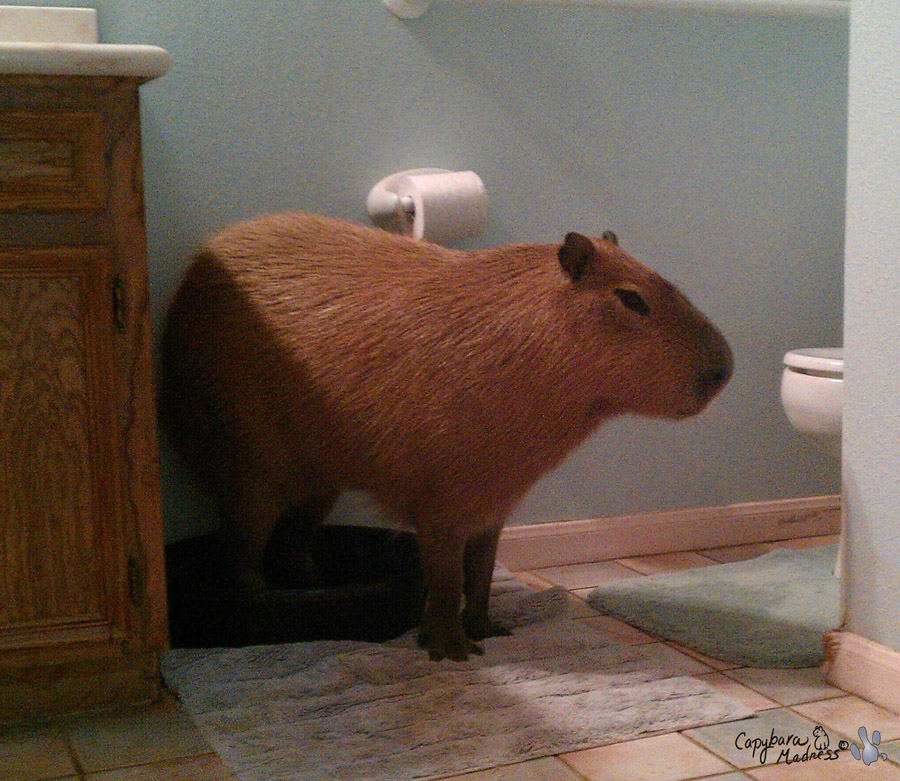 R Guinea Pigs Rodents The Capybara – Hydro...