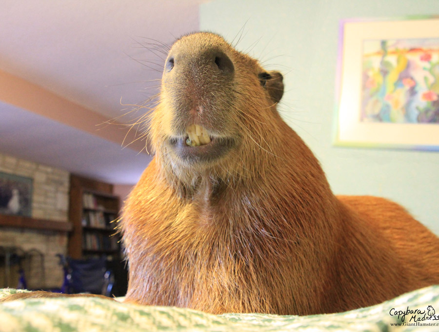 2013 Calendar Selection Capybara Madness
