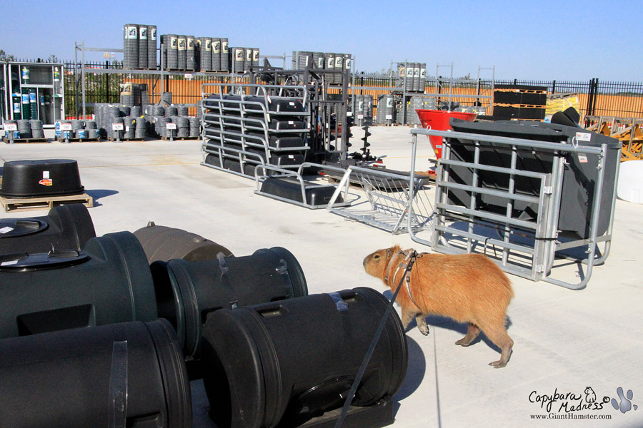 Tractor Supply Find It : Travelbara « capybara madness