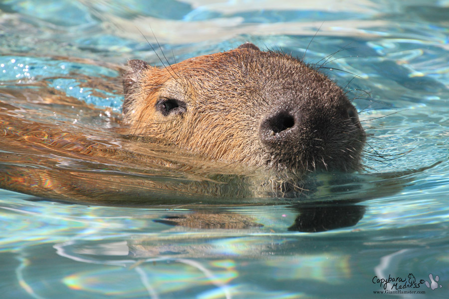 Two Types of Swimming « Capybara Madness