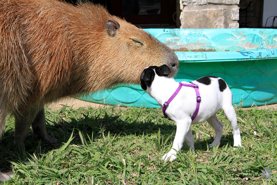 Meet the capybara: world's largest rodent, and your next pet