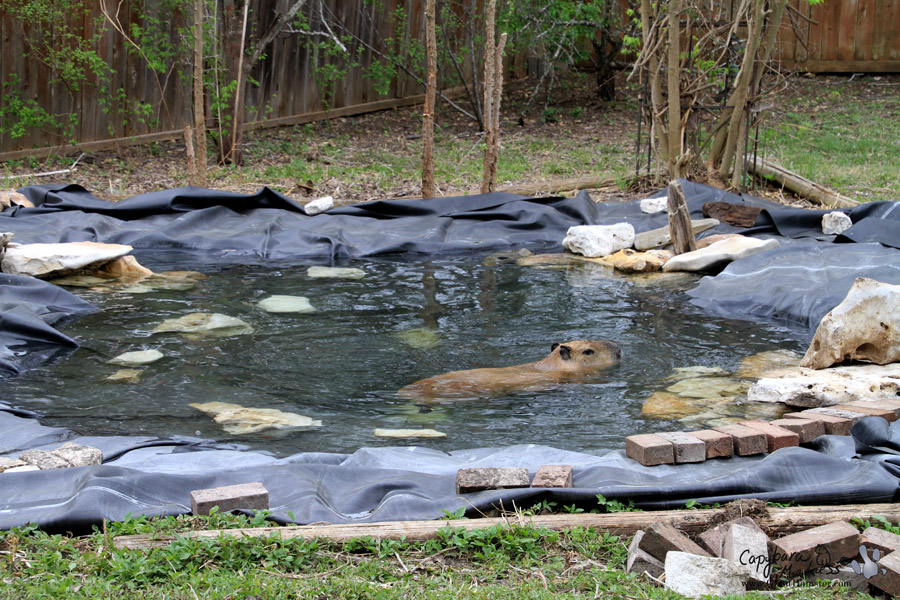 Ponds are for rolling capybara madness for Koi pond you can swim in