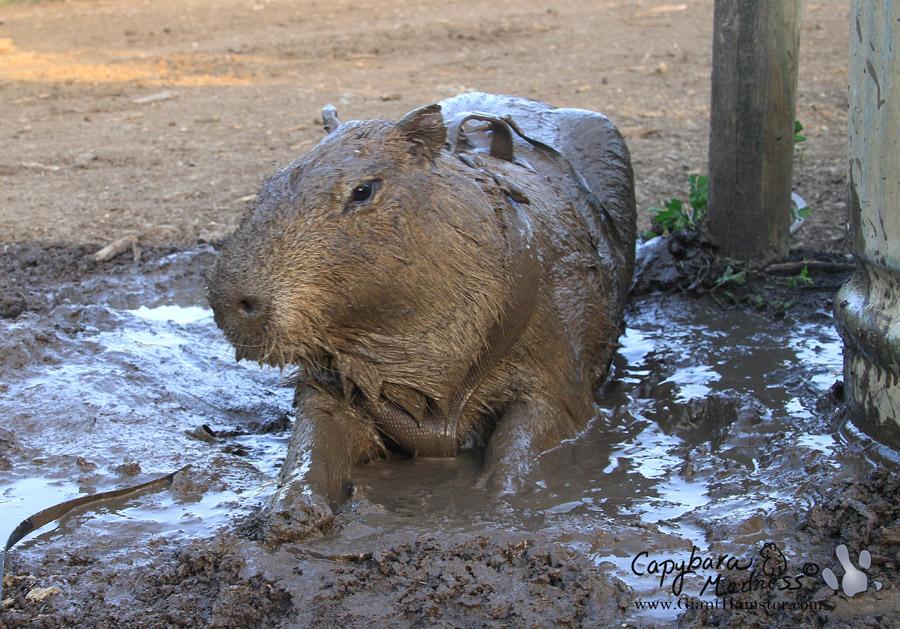 Kết quả hình ảnh cho capybara mudding