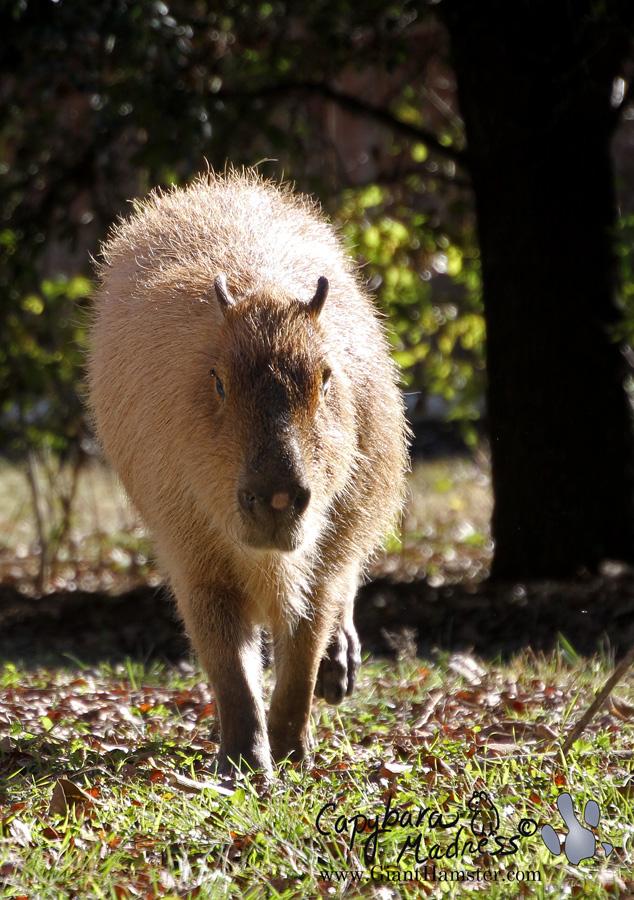 More capybara walking