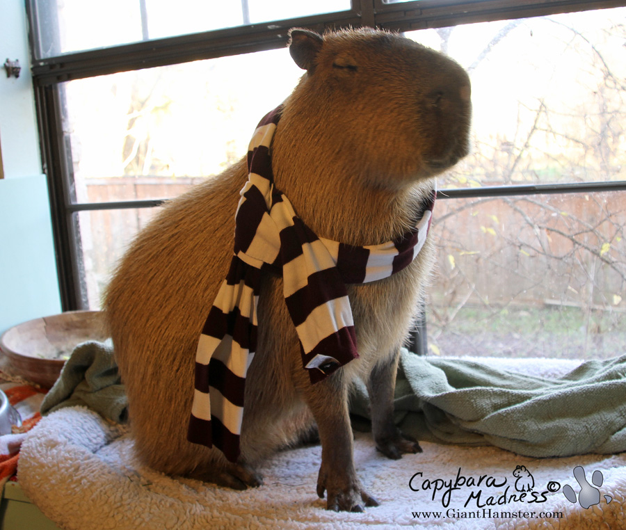 The Capybara in Winter