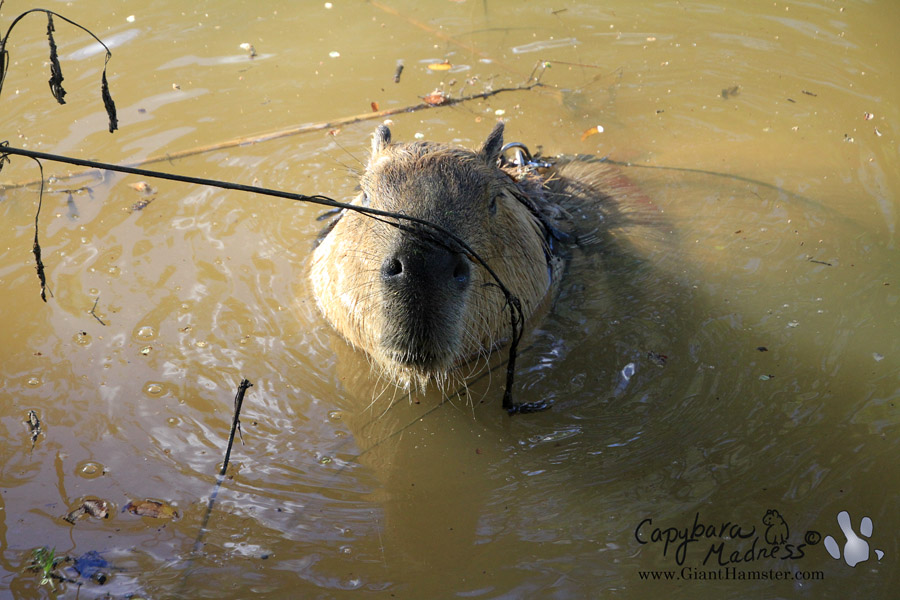 Gari enjoying a swim in Capybara Creek