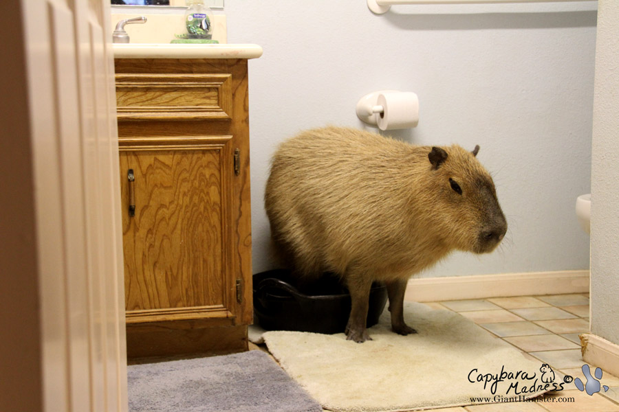 I am a fastidious capybara
