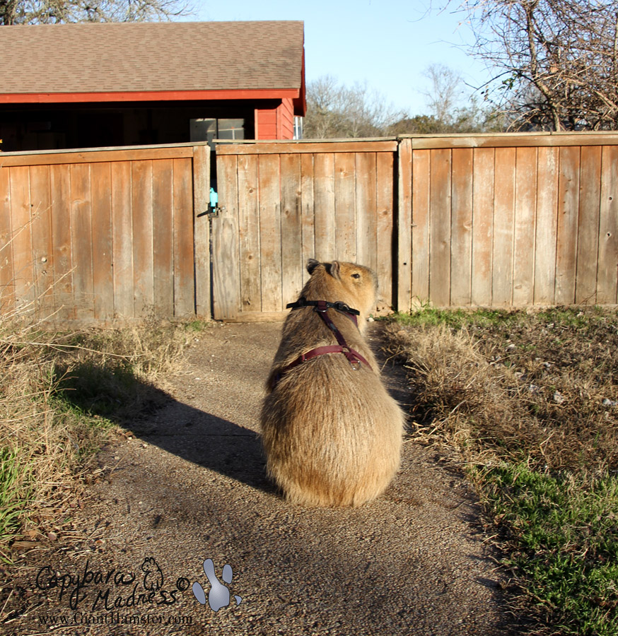 Gari waiting in front of the gate for the start of his walk