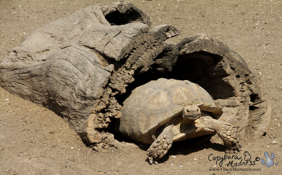 African spur-thighed tortoise