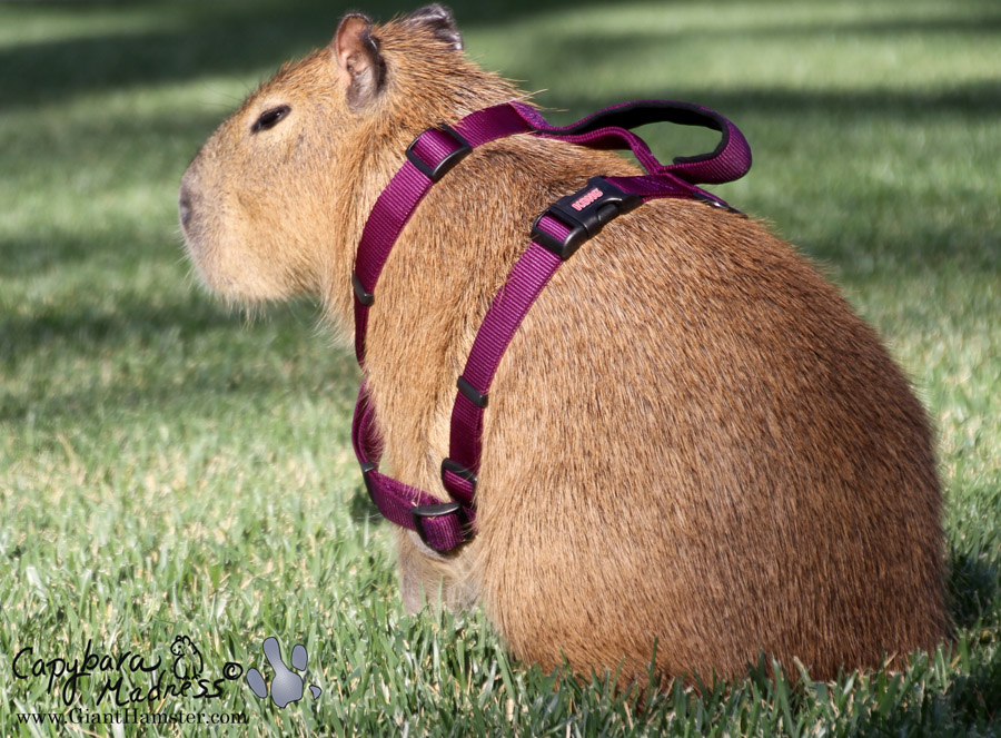 To harness a capybara