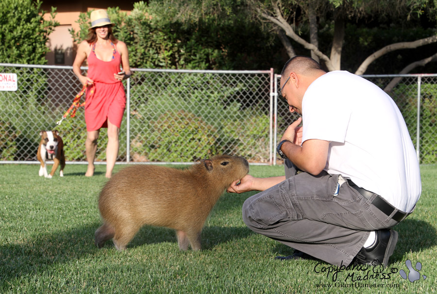 Accommodating capybara