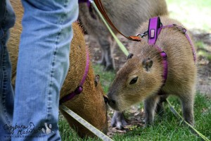 Meeting of the capybaras