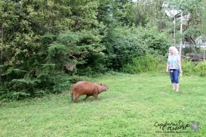 Front yard capybara