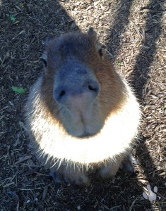 World's tallest capybara