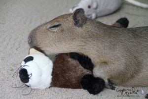 Sleeping on my ferret.